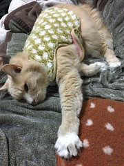 Norio's Long Reach (sjrankin) Tags: 18february2019 edited animal cat norio couch tunic blanket warmingdisc livingroom closeup kitahiroshima hokkaido japan