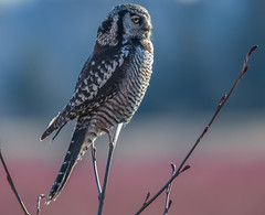 Patient and Popular (wesleybarr1962) Tags: owl hawkowl northernhawkowl surniaulula natureinfocusgroup greatphotographers