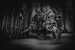 Clouded leopard (Soren Wolf) Tags: clouded leopard animal animals big cat cats zoo prague nikon d7200 sigma 1835mm bw black white blackandwhite
