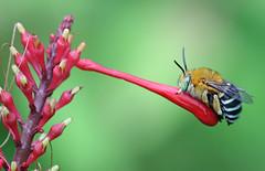 Blue Banded Bee 012 (DMT@YLOR) Tags: bee flower bluebandedbee firespike red green blue brown garden outdoors outside autumn proboscis pollen native goodna ipswich queensland australia aussie wildlife nature wings stripes five male