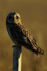 DSC02820 - (steve R J) Tags: short eared owl wallasea island rspb reserve essex birds british