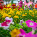 Bokeh of Flowers in Ho Chi Minh City, Vietnam