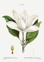 Southern magnolia (Magnolia grandiflora) illustration from Trait (Free Public Domain Illustrations by rawpixel) Tags: pierre redoute redouté antique art artwork botanical branch bullbay creativecommons0 drawing element engraved engraving environment fineart flora floral flower grandiflora graphic graphite historic historical history illustrated illustration ink leaf magnolia magnoliaagrandesfleurs magnoliagrandiflora name nature painting pencil pierrejoseph pierrejosephredouté plant publicdomain retro sketch sketching southern southernmagnolia traitédesarbresetarbustes tropical vintage