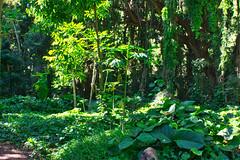 Jungle stroll (Kirt Edblom) Tags: maui mauihawaii hawaii walk trail wife gaylene tree trees tropical milf green grass jungle plants northcoast kirt kirtedblom edblom luminar nikon nikond7100 nikkor18140mmf3556