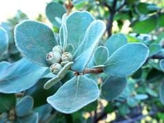 Furry (jo.elphick) Tags: lakeconjola nsw australia beachside australiannativetree leaves furryleaves macro