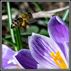 Biene im Flug (robert.pechmann) Tags: macro honigbiene biene insekt im flug flight fliegend
