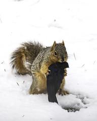 Fox Squirrel (Robin Arnold) Tags: squirrel foxsquirrel cowbird eating nature bird mammal wildlife winter snow