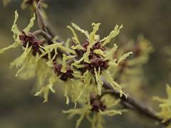 Flowering Tree (cycle.nut66) Tags: harris garden reading university pollen bokeh close up olympus epl1 evolt micro four thirds mzuiko