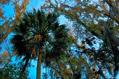 Palm Tree Sky (surfcaster9) Tags: blue sky palm tree florida lumixg7 marsh moss outside nature