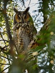 Hidden away (Marc Briggs) Tags: dsc46292bw owl longearedowl raptor avian bird birdofprey strigidae asiootus animal wildlife wildlifephotography ear eartufts