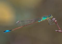 Damselfly (Légivadász) (Torok_Bea) Tags: dragonfly szitakötő nikon natur nature nikond nationalpark wild wildanimal wonderful color macro duna kisduna lake littledanube légivadász szigetcsép natura2000 summer nyár damselfly kéklégivadász