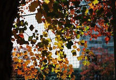 (lemonhats) Tags: canoneosrt canonef1850 lomocolor400 classiccamera vintagecamera autofocusprimelens 50mmf18 iso400 35mmcolorprintfilm traditionalphotography analoguephotography filmphotography filmisnotdead filmisalive shootfilm believeinfilm filmcommunity filmforever fpper walking hikarigaoka nerimaku tokyoto japan autumnleaves