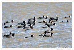 2019-03-13-40142--©-Gerard-MUSSOT (Gerard MUSSOT) Tags: deltedelebre oiseaux faune españa ebro reservenaturele