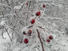 Gledićke planine (jecadim) Tags: gledićke planine hiking winter snow fog serbia nature landscape rosehip red ice