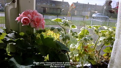 Double pink + Variegated (Green & white) Geraniums flowering in bedroom window 20th March 2019 (D@viD_2.011) Tags: double pink variegated green white geraniums flowering bedroom window 20th march 2019