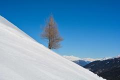 Larice sulla pista dell'Orso (giorgiorodano46) Tags: marzo2019 march 2019 giorgiorodano solda sulden sudtirolo altoadige italy larici larches melezes neve neige snow parconazionaledellostelvio stilfsernationalpark