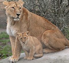 asiatic lion Blijdorp 094A0667 (j.a.kok) Tags: animal asia azie asiaticlion aziatischeleeuw leeuw lion cat kat lalana lioncub leeuwenwelp welp cub blijdorp zoogdier dier predator pantheraleopersica