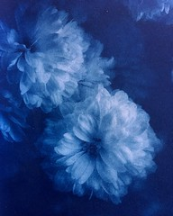cyanotype on watercolor paper (NINA KOB (on & off)) Tags: cyanotype blue persianblue alternativeprocess flower canon tamron