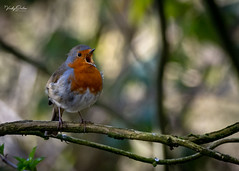 🇬🇧 Robin happily singing (vickyouten) Tags: robin robinredbreast nature naturephotography wildlife britishwildlife wildlifephotography nikon nikond7200 nikonphotography sigma sigma150600mmc penningtonflash leigh uk vickyouten