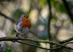 🇬🇧 Robin happily singing (vickyouten) Tags: robin robinredbreast nature naturephotography wildlife britishwildlife wildlifephotography nikon nikond7200 nikonphotography sigma sigma150600mmc penningtonflash leigh uk vickyouten