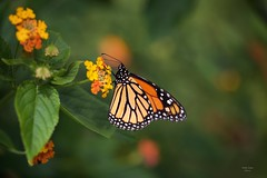 Borboleta (Carlos Santos - Alapraia) Tags: borboleta ngc flickrcentral ourplanet animalplanet canon nature natureza wonderfulworld highqualityanimals unlimitedphotos fantasticnature butterfly