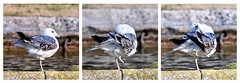 Et voici ma starlette (thierrybalint) Tags: oiseau oiseaudemer bird eau water gabian parc park borely marseille nikon nikoniste balint thierrybalint triptyque