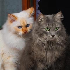 My big brother will protect me ! (FocusPocus Photography) Tags: fynn tofu katzen kater brüder cats brothers boys tier animal haustier pet