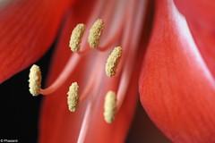 Amaryllis II (Phasianii) Tags: phasianii olympus omd em1 digital amaryllis hippeastrumvittatum blume blüte pflanze fiori mft mzuikodigital plant blossom flowers amaryllidaceae floralight