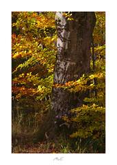 Glowing Beech (Max Angelsburger) Tags: autumn colors golden orange yellow gelb gold leafs blätter crisp knusprig beech buche sunny leuchtend glowing tree trunk badenwürttemberg herbst 2018 pznews pocketworldiglandscapedreamspotsvisualheavenlandscapephotolandscapelovernatgeoadventureearthexperiencemthrworldmajesticearth