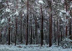 BAJAURI (juan luis olaeta) Tags: paisajes landscape forest bosque basoa pinar natura fujifilmxt2 nieve elurra snow photoshop lightroom bajauri