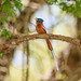 Madagascar Paradise-Flycatcher (Terpsiphone mutata), rufous morph male in song