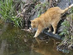 今シーズン最強の寒波が来た日 (kokemomiji) Tags: cat river water winter chilly olympus omd em1 mark2 markii mzuikodigitaled300mmf40ispro telephotolens ねこ 猫 ネコ ぬこ 冬 寒い 川