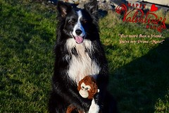 Your my Prime-Mate (ASHA THE BORDER COLLiE) Tags: valentines day primate friends 14th feb funny dog picture border collie monkey ashathestarofcountydown connie kells county down photogaphy
