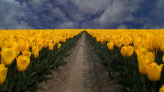 One-point Perspective..... (Piet photography) Tags: perspective tulips clouds spring field yellow tulpen flowerfield fieldoftulips aoi elitegalleryaoi bestcapturesaoi