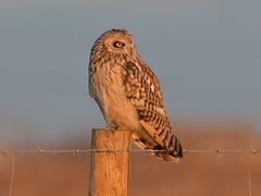 Short-eared Owl (KHR Images) Tags: shortearedowl short eared owl seo asioflammeus wild bird birdofprey perched sunset burwell fen cambridgeshire wildlife nature nikon d500 kevinrobson khrimages
