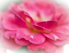 Happy Valentine's Day (Shannonsong) Tags: rose valentine pink flower blossom bloom plant garden petals
