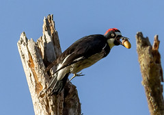 Acorn Woodpecker (Gary R Rogers) Tags: bird acorn oaktree redhead tree flight acornwoodpecker