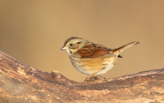Swamp Sparrow (mandokid1) Tags: canon 1dx ef600mm11 birds sparrows