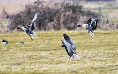 Norfolk Feb 2019 Incoming Wigeon