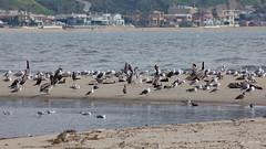 Gulls and Pelicans at Beach, Malibu Lagoon, CA CQ4A4110 (Hart Walter) Tags: malibulagoon legacypark royaltern brownpelican grayplover marbledgodwin