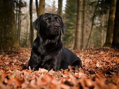 wood mouse II (uwe.kast) Tags: labrador labradorretriever labradorredriver hund haustier dog bichou wald laub wood panasonic lumix leica leicadg1260f2840