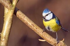 Mésange (Phil du Valois) Tags: mésange bleue cyanistes caeruleus eurasian blue tit