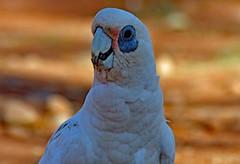 Little Corella . Nacktaugenkakadu! (Uhlenhorst) Tags: 2011 australia australien animals tiere birds vögel travel reisen coth coth5