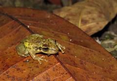 Scinax ruber. (Maira Holguín) Tags: frogs neotropicalsfrogs herpetology herpetos ranas rana anura llanosorientales piedemonte nature naturaleza colombia