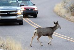 Claimed Right-Of-Way -- Mule Deer -- Female (Odocoileus hemionus); Albuquerque, New Mexico, Sandia Heights [Lou Feltz] (deserttoad) Tags: mammal animal gameanimal muledeer behavior newmexico nationalforest urban