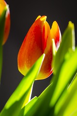 Colorful Tulips (Martin Bärtges) Tags: spring frühjahr frühling tulpen tulips natur nature naturephotography naturfotografie rot gelb grün green yellow orange red flash studio inside nikonphotography nikonfotografie d7000 nikon plants pflanzen blüten blumen flowers farbenfroh colorful