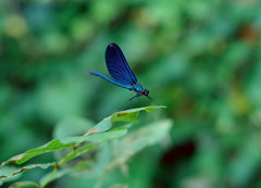 ready to fly (Krystian38) Tags: dragonfly blue green nature bug jupiter a37 m42 outside