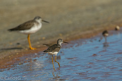 Patas amarillas mayor / Greater yellowlegs vs  Patas Amarillas Menor / Lesser Yellowlegs (Tringa flavipes) (Gogolac) Tags: 2019 aves birdphotography birdie birds canon7dmii fauna greateryellowlegs invierno lesseryellowlegs location patasamarillasmayor patasamarillasmenor season tringaflavipes tringamelanoleuca winter year birdspot birdingrd birdsspotters republicadominicana salinas