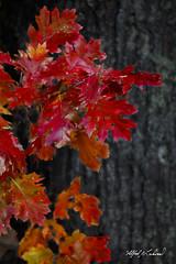 Oak_27A7350 (Alfred J. Lockwood Photography) Tags: alfredjlockwood nature details leaves bokeh autumn autumnalcolor autumncolor fallcolor fallfoliage flora maine megunticooklake morning oaktree oakleaves