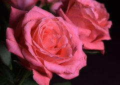 DSC_2769 (PeaTJay) Tags: nikond750 sigma reading lowerearley berkshire macro micro closeups gardens indoors nature flora fauna plants flowers rose roses rosebuds